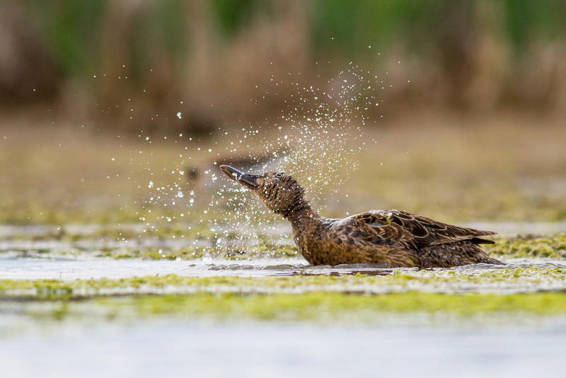 IMAGE: http://mtmountainman.smugmug.com/Animals/Birds/i-CcHXL6W/0/L/smugmug%20%2813%20of%2013%29-L.jpg