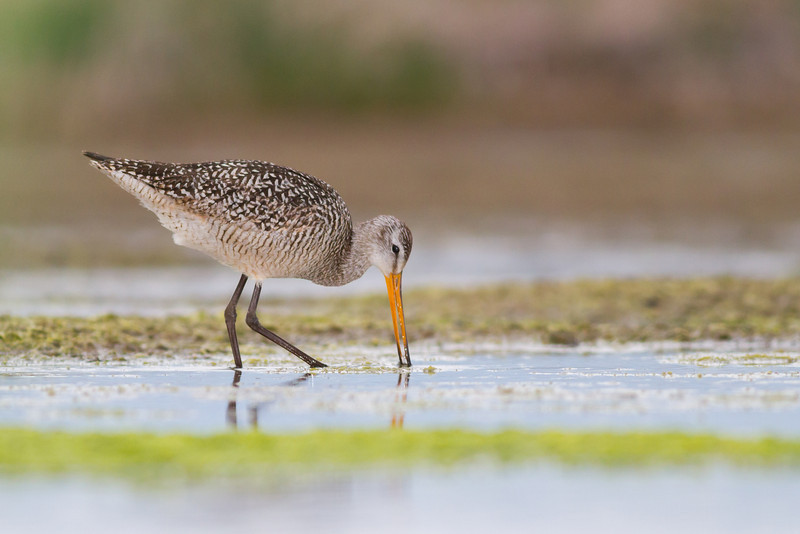 IMAGE: http://mtmountainman.smugmug.com/Animals/Birds/i-Zp8RkRW/0/L/marbled%20godwit%20%281%20of%201%29-L.jpg